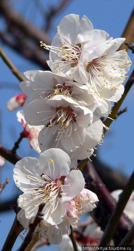 Как вы сливу назовёте, так она и абрикос Япония