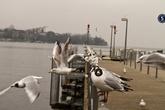 Цюрих, озеро, чайки