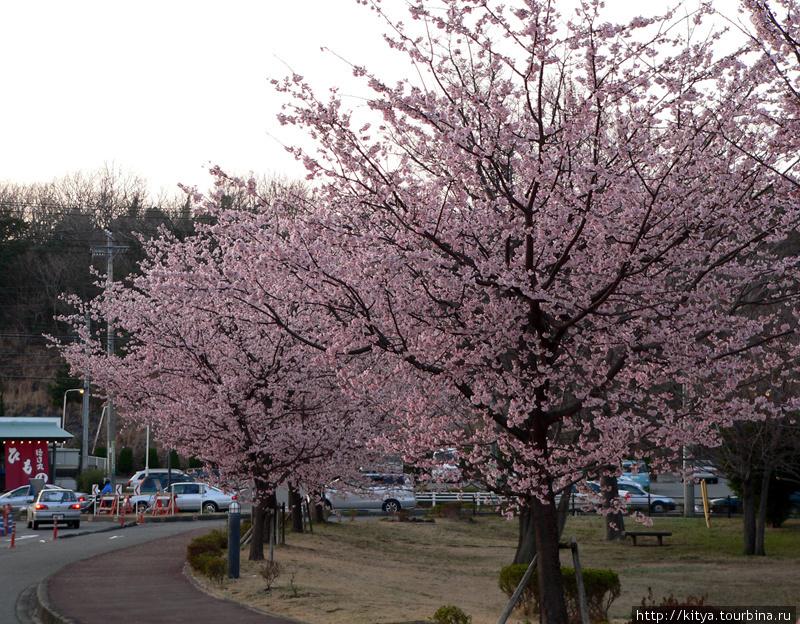 Сакуры возле станции Изу-