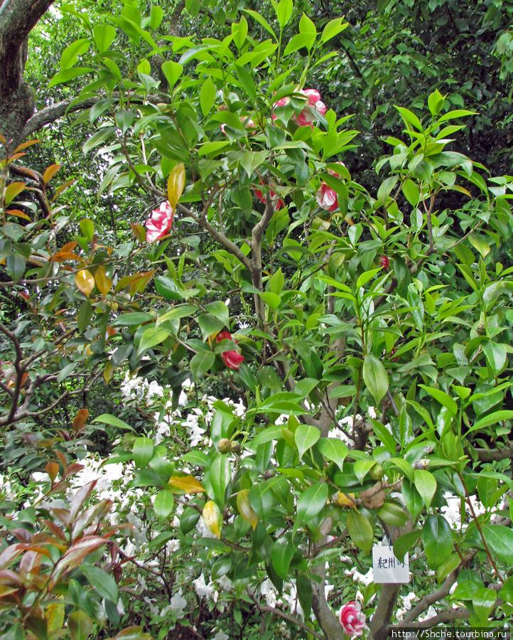 Это куст, на котором цветок с первого фото, и следующего... Япония