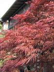 молодые листья некоторых момиджи сразу красные