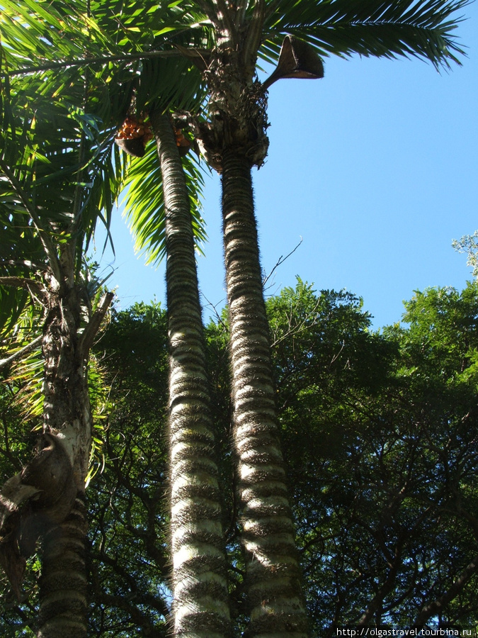 Волосатая пальма.