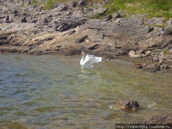 Калайоки. Лебеди не редкость в этих краях.