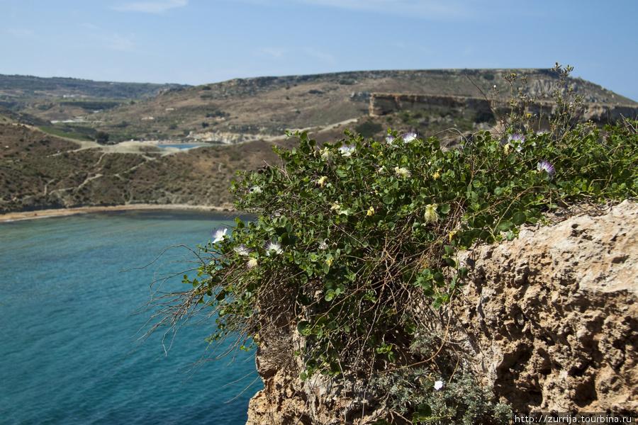 Каперсы (Мальта и Гозо)