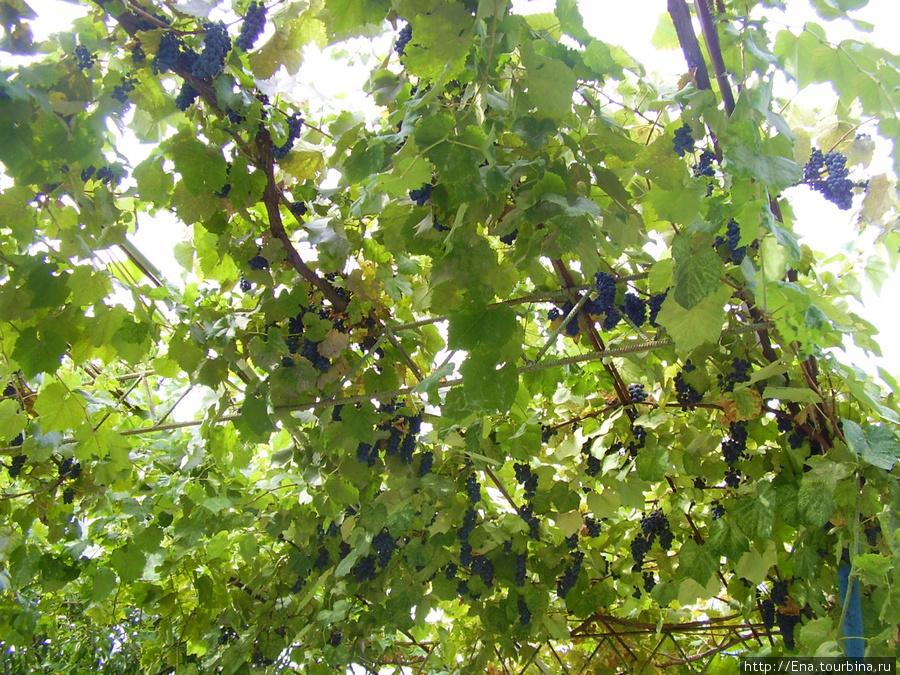 Южный виноград