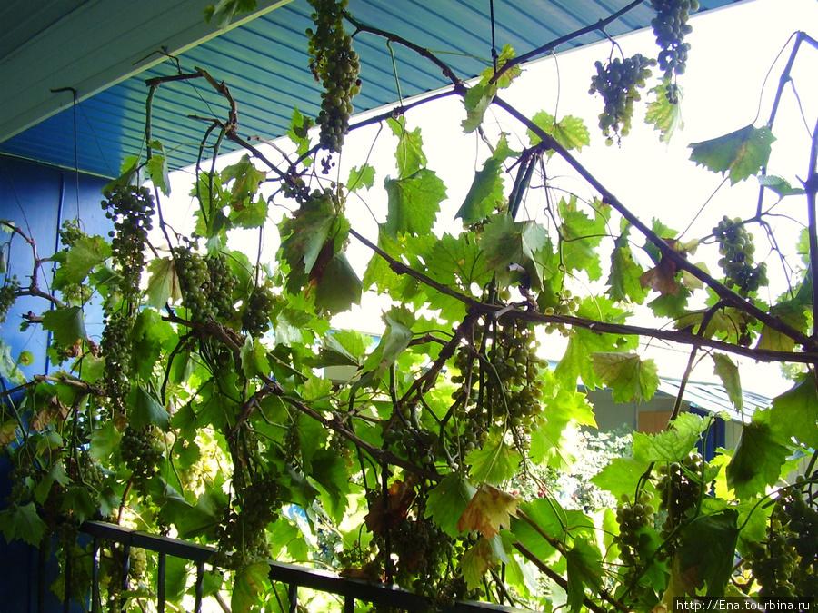Мини-гостиница на ул. Октябрьской, 10. Гроздья винограда на веранде