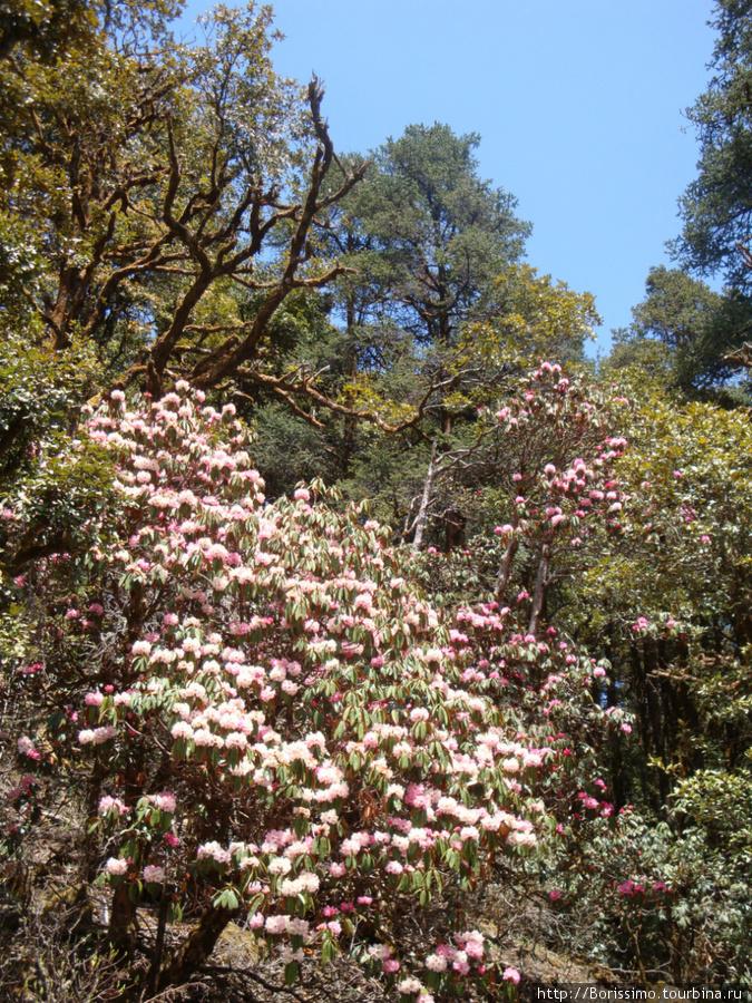 В 1-й и второй дни трекинга тропа шла по зарослям рододендронов. Это настоящие деревья с толстым стволом высотой по 5-6 метров. Не чета нашим северным заморышам...