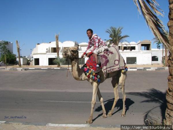 Верблюд на заработках