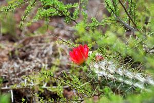 Растительность тоже есть в виде цветущих кактусов