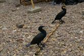 Бакланы. На реке Ли, что рядом с Яншо китайцы издавна используют бакланов для рыбной ловли