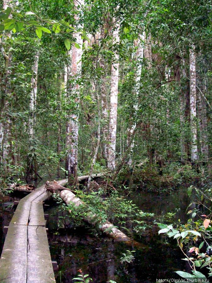 В той части леса, куда водят туристов, построены мостки, иначе не пройти