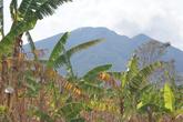 Банановая плантация и вулкан Консепсьон