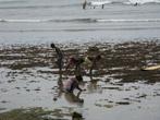 Сбор ракообразных и моллюсков на полосе отлива