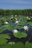 ковер цветов водной лилии нимфеи.