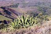 Кактус на склоне вулкана