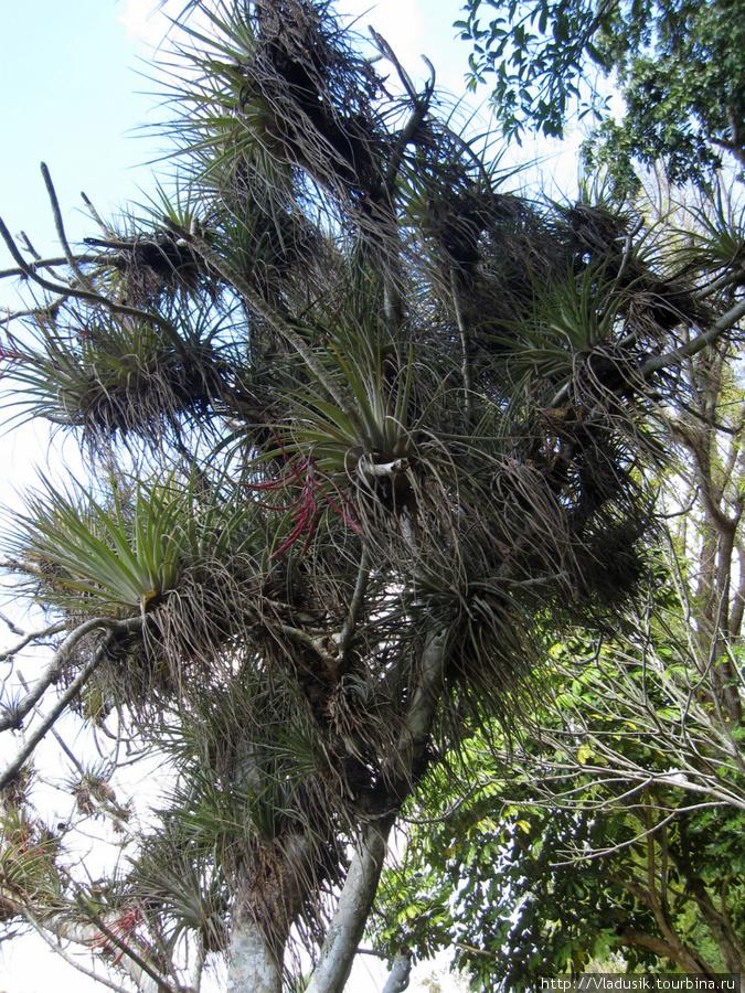 Паразитирующие бромелиевые — почти на каждом дереве.