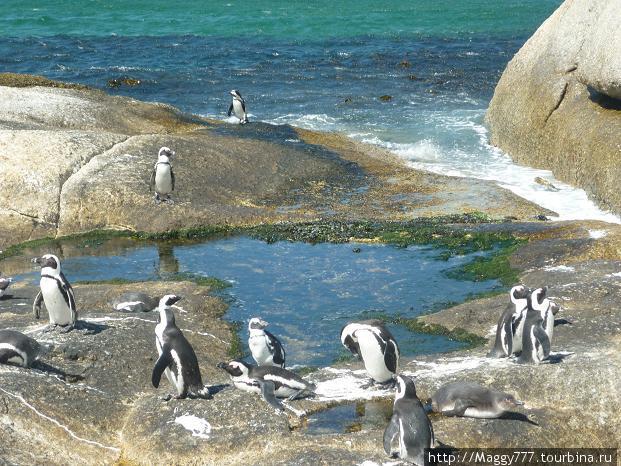 А вот и пингвины — точнее, пингвинчики