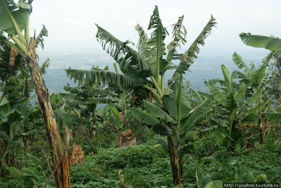 банановые деревья на огороде