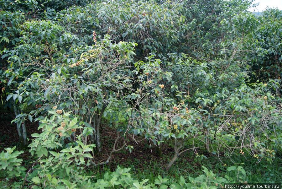 кофейные деревья