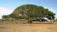 Каньон Дегера, гигантский фикус, изображенный на купюре в 5 накфа