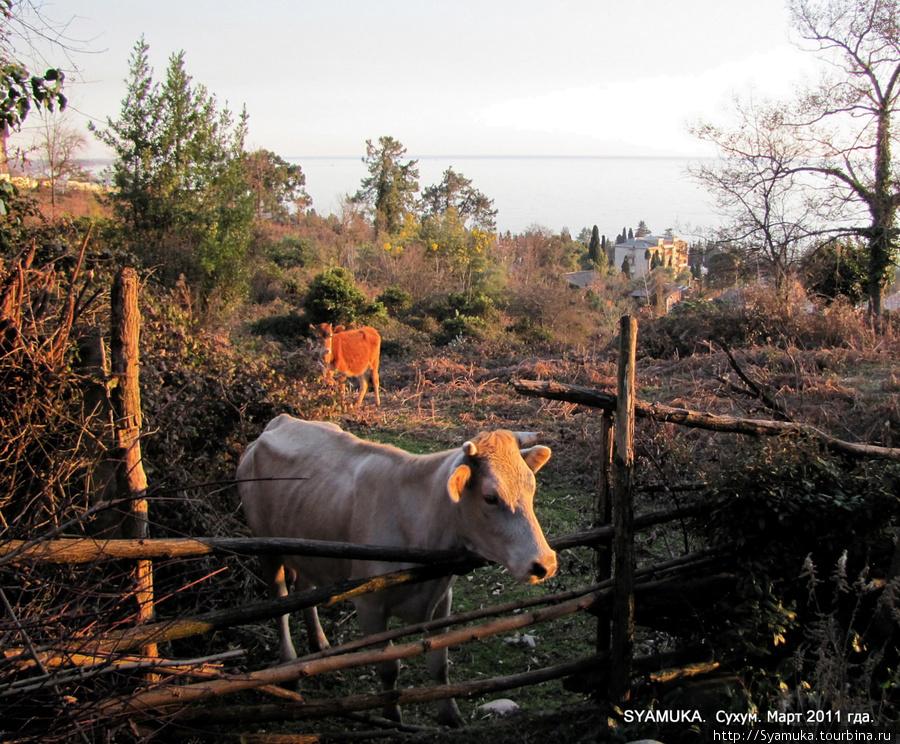 Городская корова.