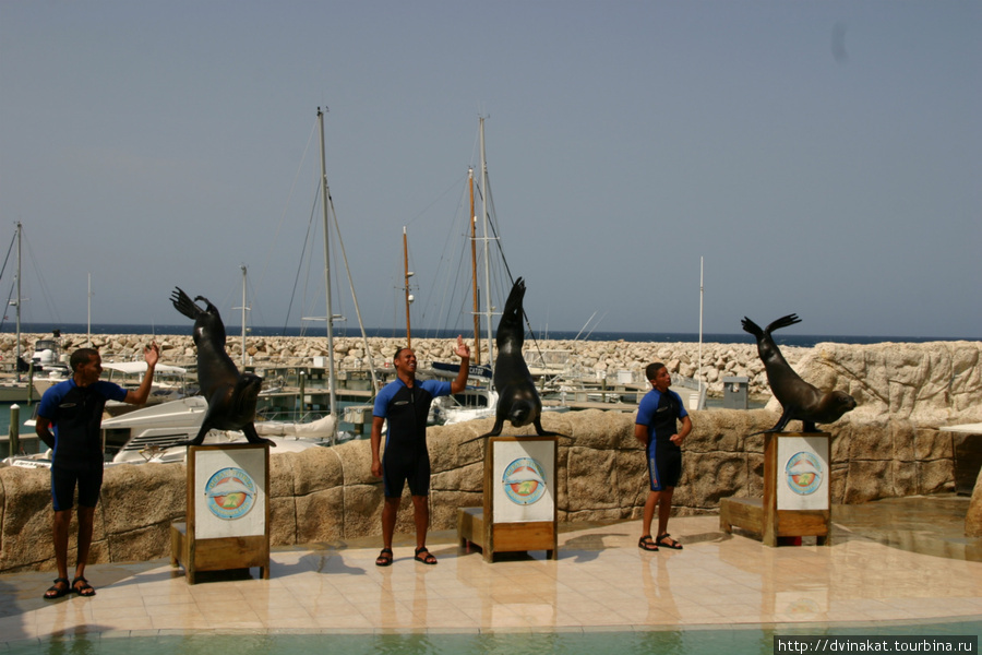 шоу тюленей или морских котикв