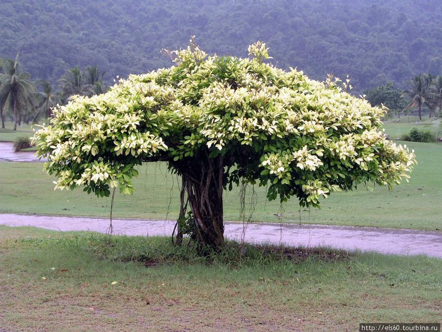 Это дерево растет на гольф-поле.
