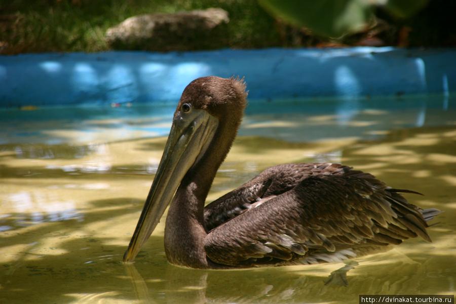 Пеликаны попрашайки