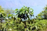 На склоне вулкана Сан Педро есть кофейные плантации