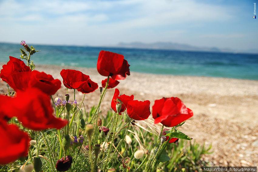 Все пригорки у моря заросли цветами. Остров Кос, Греция