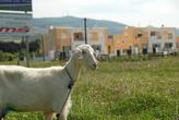 Жители на острове разводят коз.