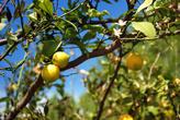 Цитрусовые у них по статусу, как у нас яблоки, висят в каждом саду, и если никто не срывает, они так валяются на земле.