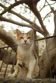 Безухий дворовый боевой кот.