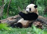 Долгие годы точная таксономическая классификация панд была предметом дебатов у учёных — как большая, так и малая панды имеют признаки как медвежьих, так и енотовых. Наконец, генетические тесты доказали, что большие панды в действительности являются медведями, а их ближайшим родственником является очковый медведь, живущий в Южной Америке. Малая панда образует собственное семейство малопандовых (Ailuridae), которое вместе с семействами енотовых, скунсовых и куньих образует надсемейство куницеподобных (Musteloidea).  Большие панды имеют необычные лапы, с «большим пальцем» и пятью обычными пальцами; «большой палец» на самом деле является видоизменённой костью запястья.
