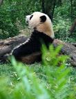 В длину большая панда достигает 1,2—1,5 м и имеет массу от 30 до 160 кг. В отличие от других медведей имеет довольно длинный хвост (до 12 см). Тело массивное, покрытое густым белым мехом с чёрными пятнами вокруг глаз («очками») и чёрными лапами. Короткие толстые задние лапы имеют острые когти. На подошвах и в основании каждого пальца хорошо развиты голые подушечки, облегчающие удерживание гладких стеблей бамбука.