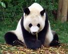 Несмотря на то, что панды относятся к хищным животным, их рацион в подавляющем большинстве вегетарианский. Фактически, они едят один только бамбук. В день взрослая панда съедает до 30 кг бамбука и побегов. Технически же, как и многие животные, панды всеядны. Так известно, что панды едят яйца, а также некоторых насекомых наряду с их бамбуковой диетой. Животная пища для панд является необходимым источником белка.