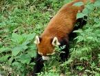 Не привилось имя, предложенное генералом Хардвиком, и в качестве английского названия животного. Хотя слово «wah» иногда и можно встретить в англоязычной литературе, но соотечественникам генерала больше пришлось по вкусу другое китайское название — «poonya», которое они быстро переделали в «panda». Так «уа» стал пандой.  Есть два подвида малой панды, существующие в наши дни. Первый — западная малая (красная) панда (Ailurus fulgens fulgens F. G. Cuvier, 1825) живёт в западной части вышеупомянутого региона (Непал, Бутан). Второй подвид — малая (красная) панда Стайана (Ailurus fulgens styani Thomas, 1902) живёт на востоке или северо-востоке своего ареала обитания (южный Китай и северная Мьянма). Малая панда Стайана предположительно чуть крупнее и значительно темнее, чем её западная родственница, хотя большое количество вариаций на тему «цвет-размер» существует и внутри подвидов малой панды. В связи с этим можно встретить много особей не красного цвета, а скорее желтовато-коричневого