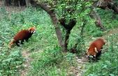 Статус популяции.  Хотя ареал малой панды занимает очень большую территорию и естественных врагов у нее немного, этот вид включен в списки Международной Красной книги со статусом «Подвергающийся опасности». Вид классифицировали как вымирающий, так как осталось всего 2500 особей (по другим данным около 10 000). Дело в том, что плотность зверьков в природе очень невысока, и, кроме того, местообитания красной панды легко могут быть разрушены. Основную опасность представляет постоянная вырубка лесов в этих регионах, а также браконьерство и охота на малую панду на территории Индии и юго-западе Китая из-за её красивого меха (из которого делают шапки). За последние 50 лет популяция красных панд в районе Гималайских гор уменьшилась на 40 %.