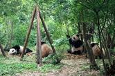 У человека с пандой на 68 % совпадают гены.  Аренда больших панд зоопаркам США и Японии была важной частью китайской дипломатии в 1970-е, она была одним из первых проявлений культурного обмена между Китаем и западом.  Однако, начиная с 1984, панд перестали использовать в дипломатических целях. Вместо этого, Китай предлагает панд другим странам в 10-летнюю аренду. Стандартные условия аренды включают арендную плату в 1 миллион долларов США в год и предоставления гарантий, что все родившиеся в период аренды медвежата являются собственностью КНР.  Следует отметить, что в Китае предусмотрена смертная казнь за убийство панды, что также играет свою роль в деле охраны данного вида.