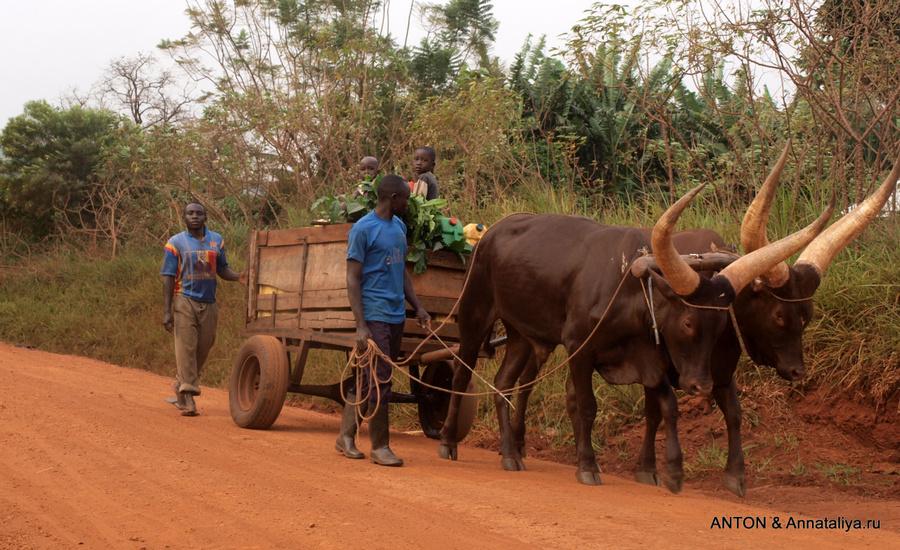 Коровы породы анколе