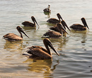 Но настоящим открытием для нас стала стая хорошо откормленных пеликанов.