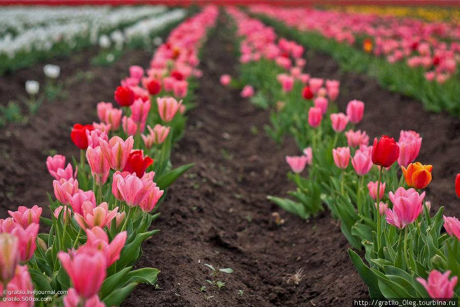 Самые красивые — розовые