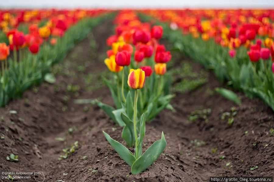один в поле тюльпан