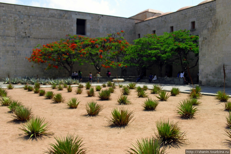 Кактусы у стены доминиканского монастыря Оахака, Мексика