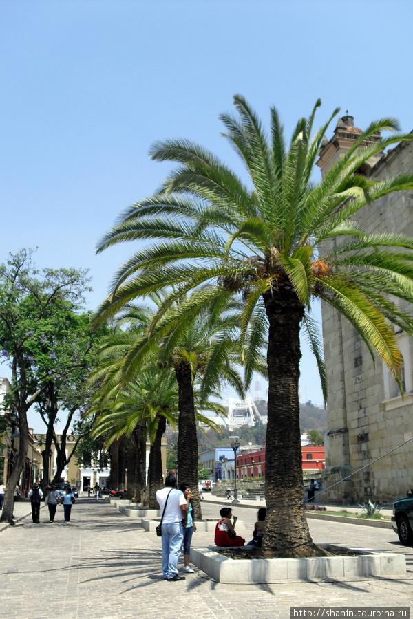 Пальма на площади Оахака, Мексика