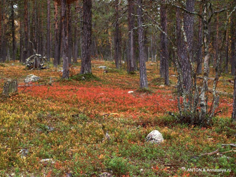 Брусничный лес национального парка