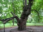 Еще могуч, хотя стар и болен... Скрывает в ажурной листве свою слабость...