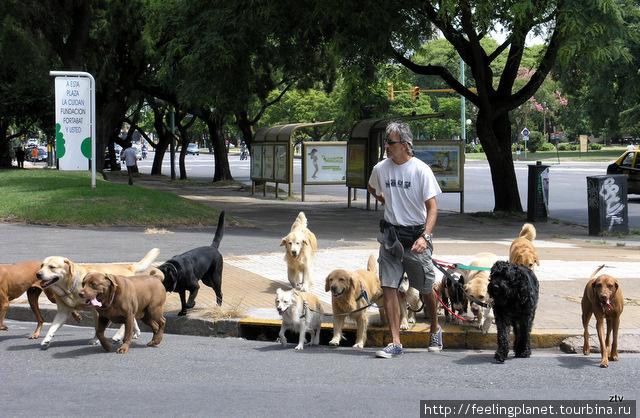 В Буэнос-Айресе есть специальные люди, выгуливающие собак. Собирают их в пучки и ведут на собачью площадку. Собаки снисходительно следуют за своими провожатыми.
