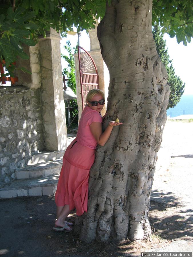 Фиговое дерево у фхода в монастырь. Старое.