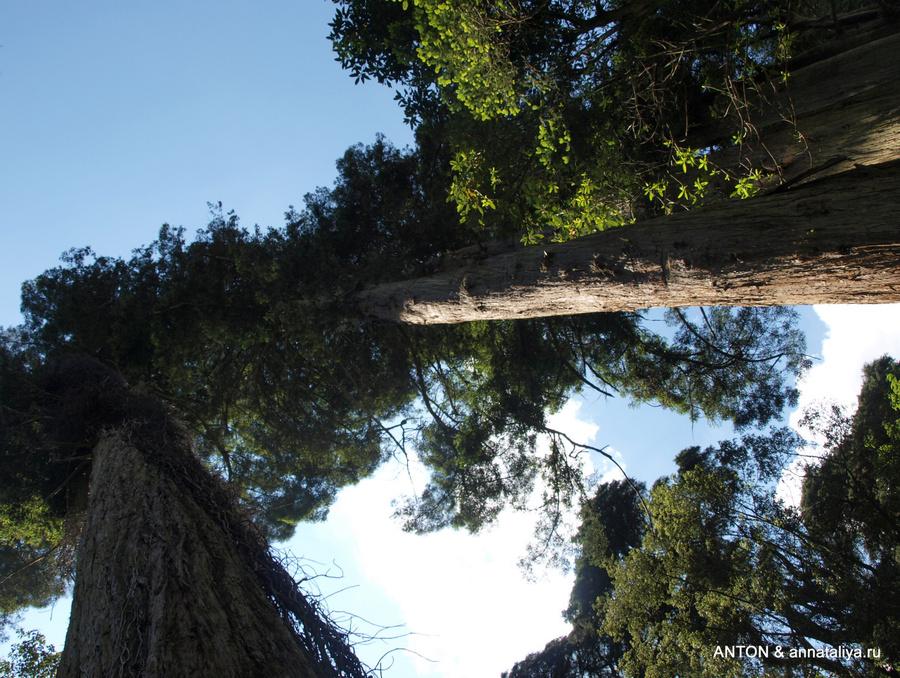 Секвойи в парке Пена